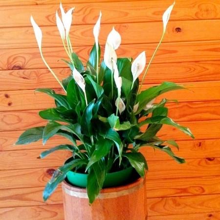 白鹤芋这麼美丽的花,功能居然这麼强大!真的是太小看它了!