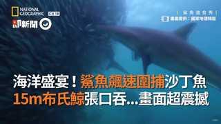 海洋盛宴!鯊魚飆速圍捕沙丁魚 15m布氏鯨張口吞...畫面超震撼