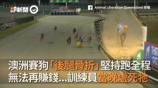 澳洲賽狗「後腿骨折」堅持跑全程 無法再賺錢...訓練員當晚處死牠