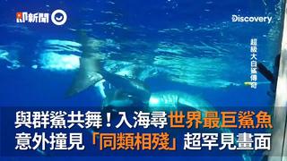 與群鯊共舞!入海尋世界最巨鯊魚  意外撞見「同類相殘」超罕見畫面