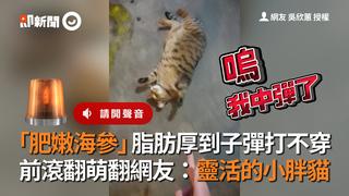 「肥嫩海參」脂肪厚到子彈打不穿 前滾翻萌翻網友:靈活的小胖貓