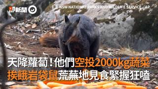 天降蘿蔔!他們空投2000kg蔬菜  挨餓岩袋鼠荒蕪地見食緊握狂嗑