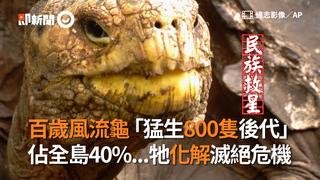 百歲風流龜「猛生800隻後代」 佔全島40%...牠化解滅絕危機
