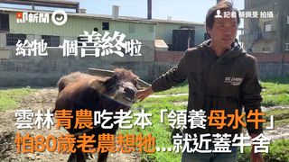 雲林青農吃老本「領養母水牛」  怕80歲老農想牠...就近蓋牛舍