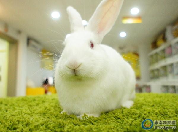 动物实验最爱它! 1年消耗1.6万只纽西兰大白兔