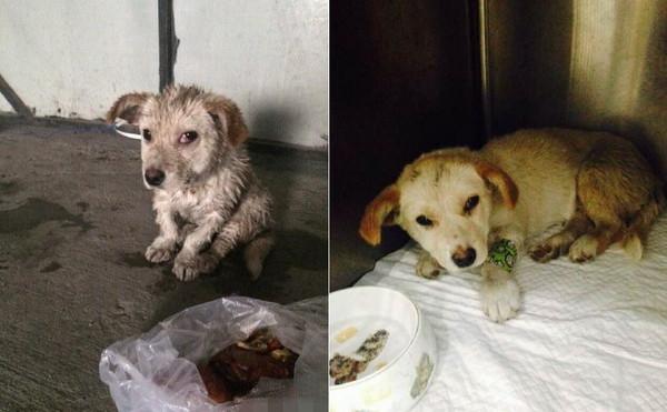 受伤的小狗在动物保护中心治疗.(图/取自微博,《华西都市报》)