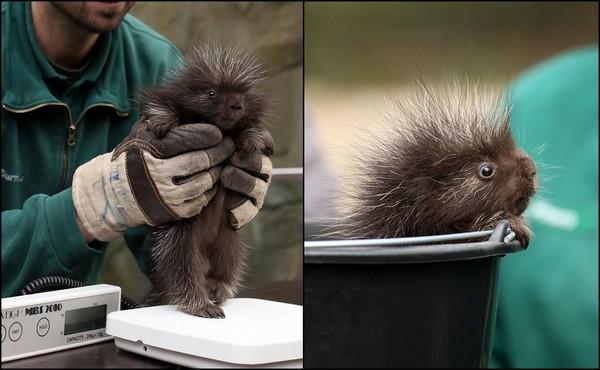 嗨!汉堡动物园年度盘点 意外多了一只「害羞小豪猪」