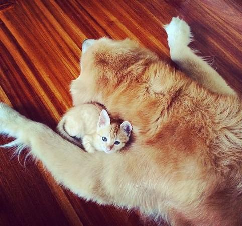 这两只同样是金黄色毛发的毛小孩,不是同胎生,更不是同一种动物;不过