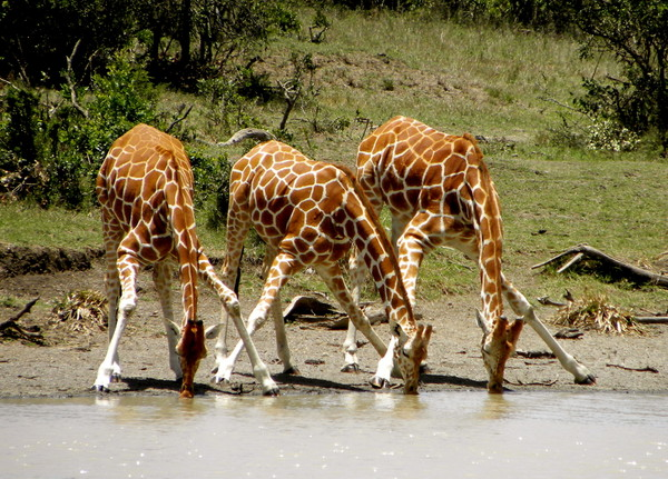 長頸鹿除了脖子長、腳長,是陸地上最高的動物之外,長頸鹿還是所有哺乳動物中睡眠時間最短的,平均一天只睡30分鐘~不僅睡覺時間短,長頸鹿還能夠張開眼睛睡覺 長頸鹿的四隻腳很長,讓牠很難馬上躺下和站起來。要是坐著睡覺被敵人盯上,又不能馬上站起來落跑,下一秒就可能變成敵人嘴中的食物了。所以要看到〝長頸鹿坐著把屁股當枕頭睡〞的景象非常難得~