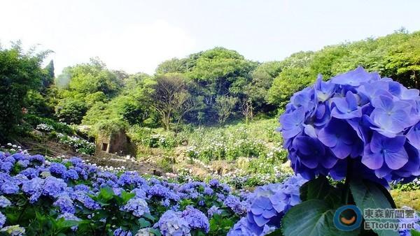 阳明山夏日最美风景 七彩绣球花在「蓬莱米故乡」盛开