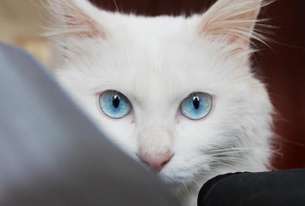 嗷呜,白猫怎麼看起来这麼电人啦~~蓝眼睛实在是太美腻了,好想跪著叫