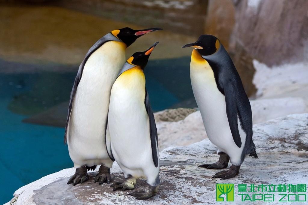 台北市立动物园国王企鹅正进入繁殖期.