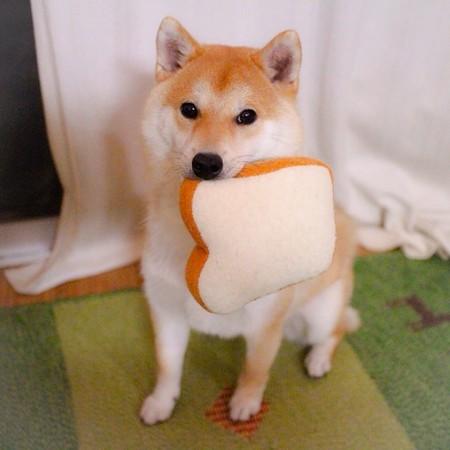 最喜欢的食物是吐司!呆萌柴犬daifuku吃货日记