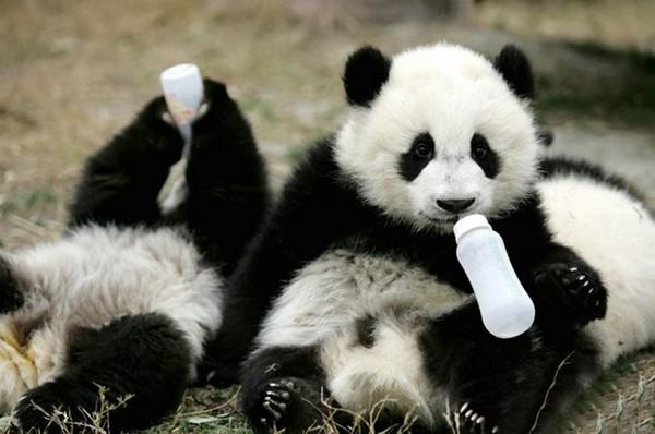 全世界最可爱托儿所 大熊猫们入园罗!