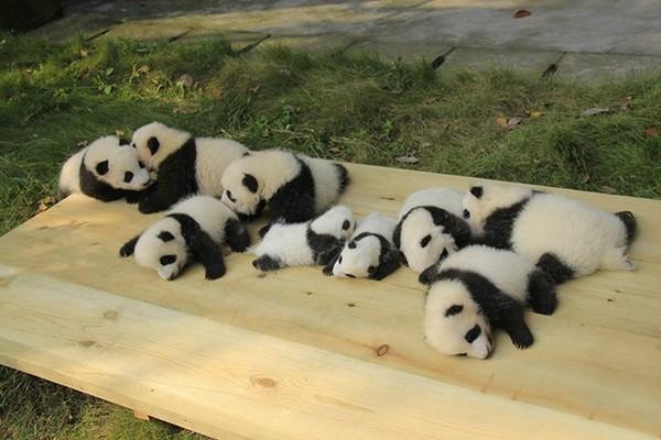 喪女真心覺得、大貓熊一定是上天賜給大陸的禮物!否則像貓熊這麼可愛迷人的動物,只在大陸出沒不是太不公平了嘛!!你看看那個黑輪眼~超迷人>///<  四川成都在1987年設立大熊貓繁育研究基地,是世界最大的大熊貓繁殖、教育、旅遊中心,並成功地繁殖瀕危大熊貓,使數量增加到108隻.