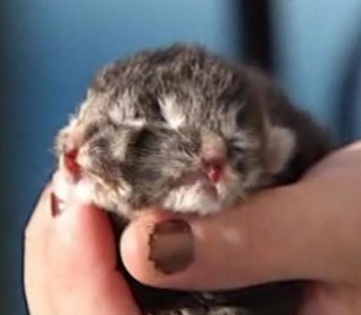 美国24趾「双头猫」仅存活2天 疑双胞胎细胞分裂异常