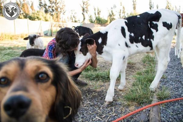 撒娇可爱的小牛,跟园区里其他动物例如羊