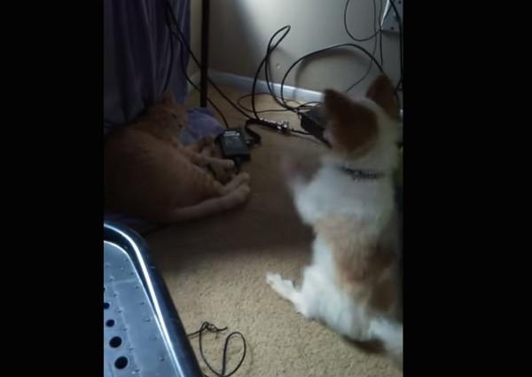 柴犬高清电脑桌面可爱