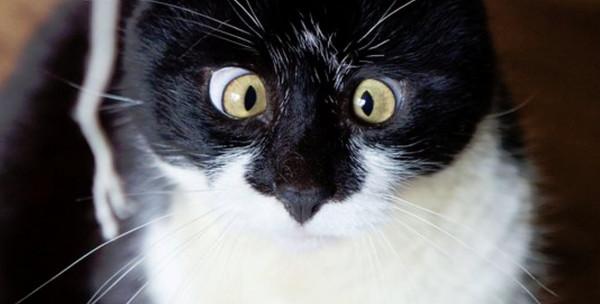 好像「斗」苏格兰斗鸡眼猫奥兹表情大乱被催中国国家射箭队曹慧图片