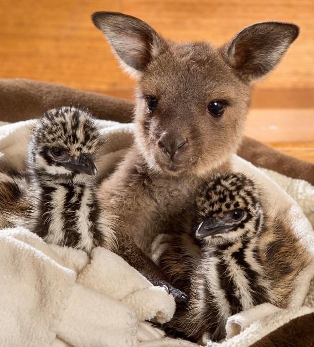 幼幼狠狠射_澳洲两大动物结「萌」超疗愈!鸸鶓宝宝袋鼠幼幼互紧抱