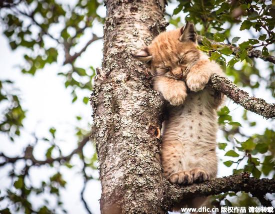 怎麼这麼困那麼萌! 猞猁宝宝站在树上抱树枝睡觉