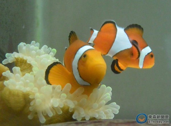影 小丑鱼夫妇产卵如共舞 晶莹卵囊超像剉冰配料