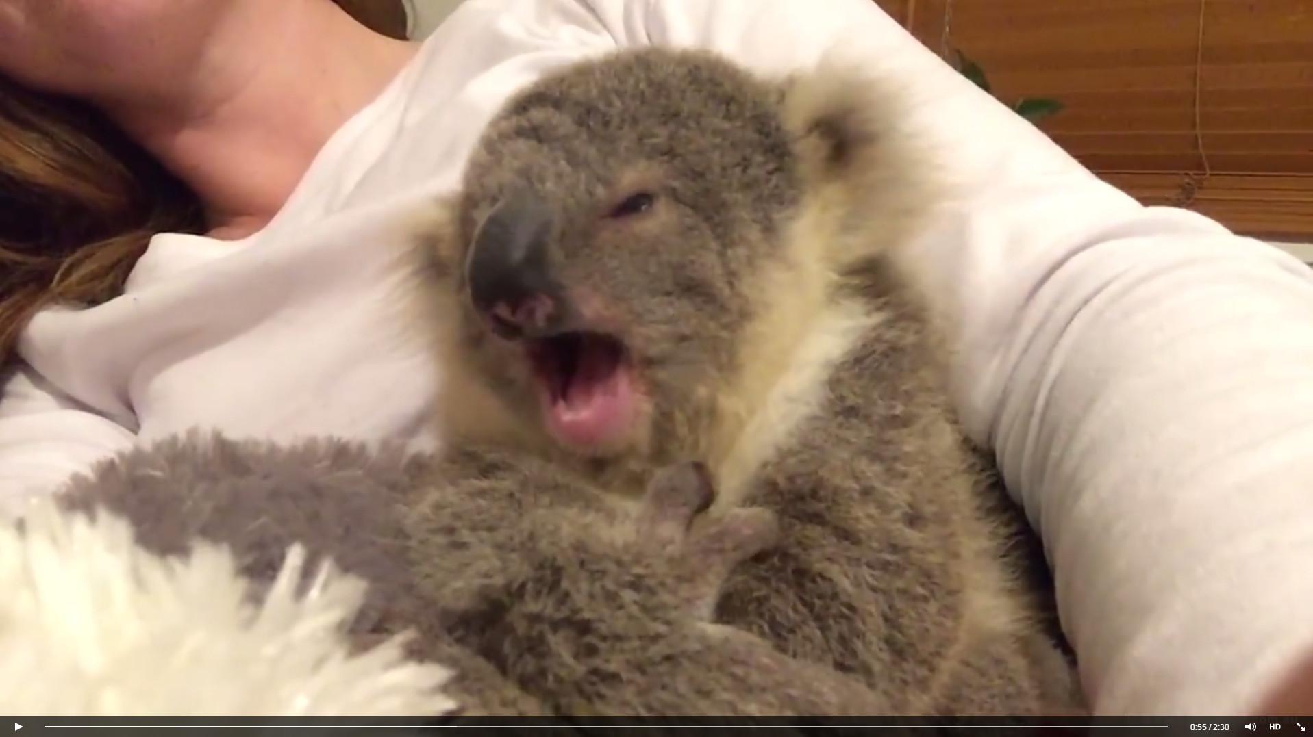史上最可爱无尾熊! 「超萌哈欠」睡姿让网友融化