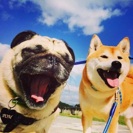 巴哥犬和柴犬兄弟的快乐生活日记