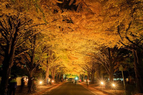 秋季限定的黄金隧道!日本最美「银杏名所」6选