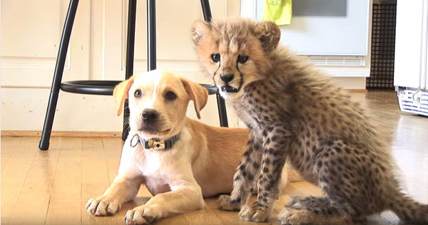 友谊满1年 萌萌小猎豹长大了 还是爱和牠一起赛跑