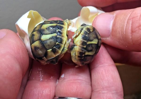龟龟双胞胎屁股「黏」一起 用牙线让它们神奇自行分开