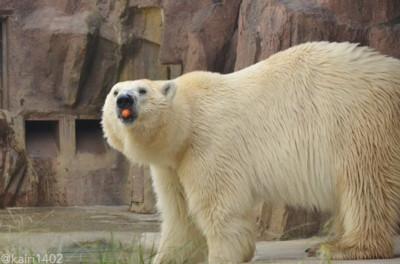 上野动物园北极熊超「天然呆」 吃东西和睡觉表情