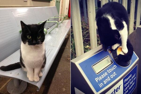 倫敦「車站喵」每天找乘客討摸 幸運的人才遇得到!  原...