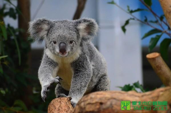 记者李依融/台北报导 动物园的无尾熊empress和nicole 要当妈妈了!