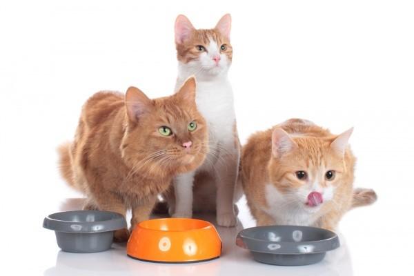宠毛网/猫咪吵著要吃饭 不见得是真的肚子饿?