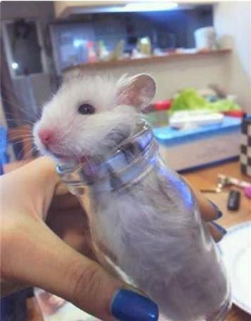 超可爱!遇到地震吓坏了 小仓鼠躲进玻璃瓶「避难」