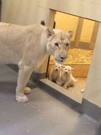 多伦多动物园最新偶像团体! 小白狮4兄弟生日分2天