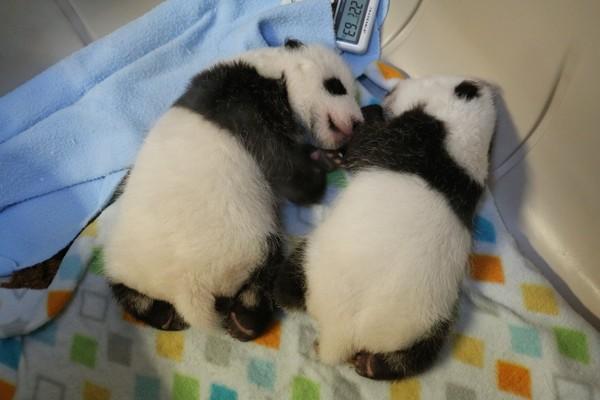 多伦多动物园的猫熊双胞胎成长飞速,才10周一个就长到3公斤.