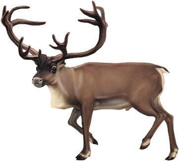 麋鹿,驯鹿分不清!帮圣诞老人拉雪橇的到底是什麼鹿?