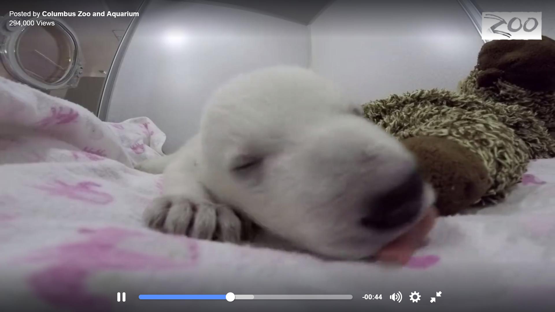 紧靠著大玩偶睡觉的北极熊宝宝可爱度爆表