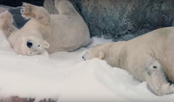 北极熊的圣诞礼物是26吨雪! 3团白麻糬滚来滚去超嗨