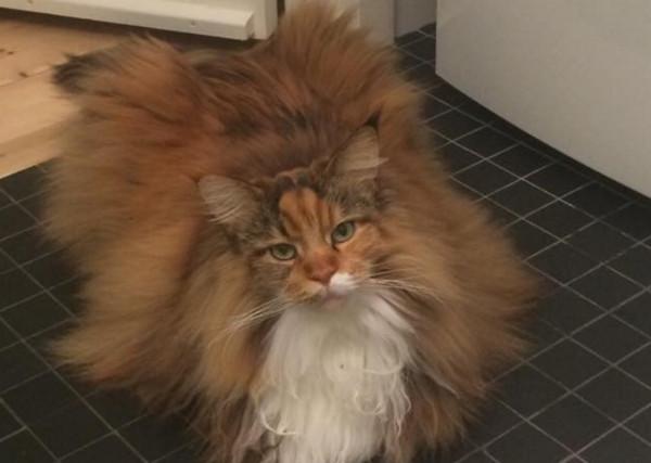 小心误踩!缅因猫蓬松像地毯 笔电键盘被「盖好盖满」