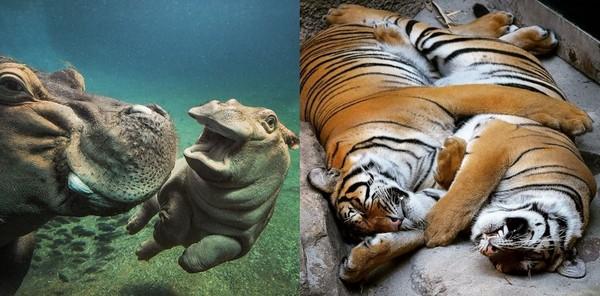 圣地牙哥动物园年度top15 小河马devi「微笑线」占3名