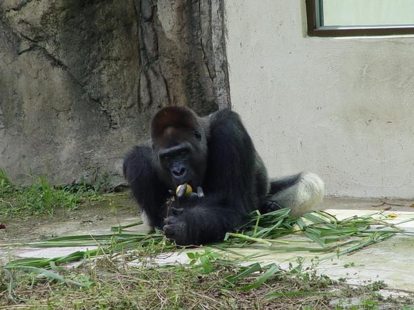 台北市立动物园高龄47岁的金刚猩猩「黑皮」