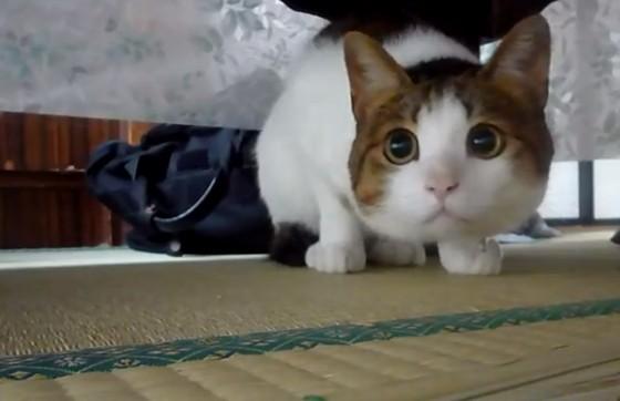 许多人都被猫咪水汪汪的大眼迷住,直呼「真是太可爱!