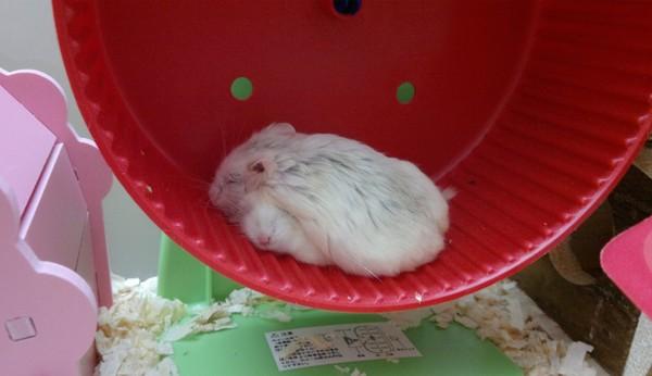 「麻~它睡著了,快给我吃」 超萌小仓鼠探头讨坚果!