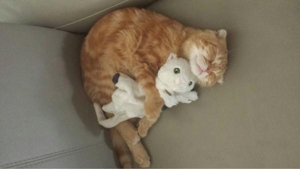抱著睡最舒服了!(圖/翻攝自Reddit/SonicFrost) 網搜小組/綜合報導 國外網友SonicFrost在社群網站RedditPO出一張自家橘貓摟著玩偶酣睡的照片,只見小貓手抱著白色貓玩偶,下巴靠在玩偶頭上,眼睛瞇瞇折著身子窩在沙發角落,看起來舒服極了,好像小白貓就是牠最好的夥伴。這張照片也融化許多網友,直說真是一對抱抱好夥伴。 有網友說自己也想要當那隻白貓,不過也有人分享自己的經歷,說自己曾經也給貓咪準備了玩偶,但是下場不是被咬爛,就是被當成你丟我撿的玩具,「我都懷疑自己養的是狗吧?」Son