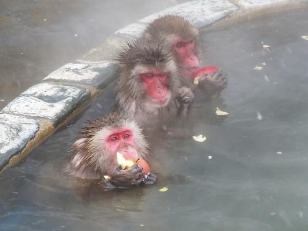 才能看到可爱的小猴子们在温泉中的可爱景象