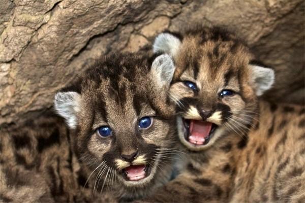 豹 豹子 壁纸 动物 虎 老虎 桌面 600_400