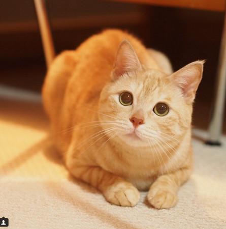 橘猫fuku耳朵已经听不到了,本来是只流浪猫的它幸运被收养,无辜,可爱